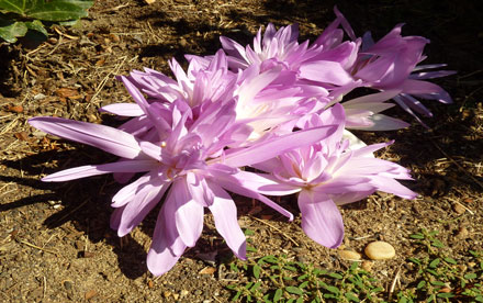Colchicum autumnale waterlilly.  Lumix ZS-3