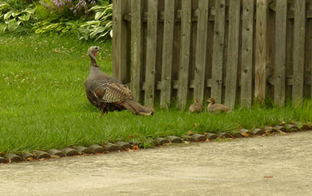 Wild Turkey With Babies Nearby. Lumix ZS-3
